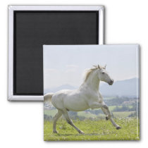 white horse running on meadow magnet