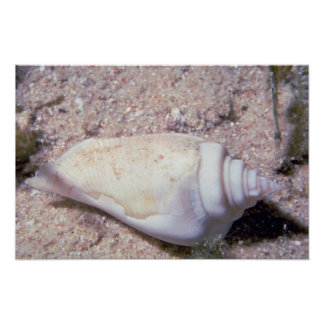 White hump-back conch (Strombus gibberculus albus) Print