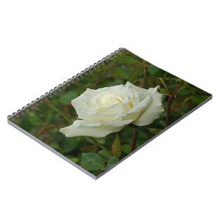 White Hybrid Tea 'Mrs. Herbert Stevens' Rose Journal