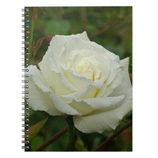 White Hybrid Tea 'Mrs. Herbert Stevens' Rose Journals