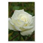 White Hybrid Tea 'Mrs. Herbert Stevens' Rose Photo Print