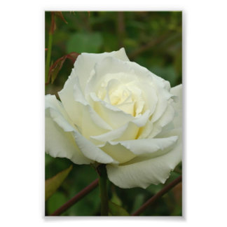 White Hybrid Tea 'Mrs. Herbert Stevens' Rose Photo Print