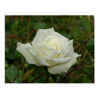 White Hybrid Tea 'Mrs. Herbert Stevens' Rose Postcard
