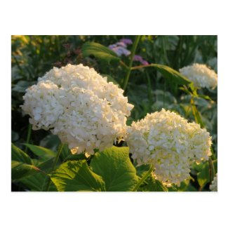 White Hydrangea flowers postcard