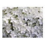 White Hydrangea Postcard