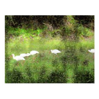 white ibis and john burroughs postcard