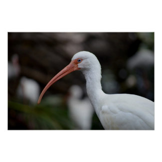 White ibis blue eyed bird feather image poster