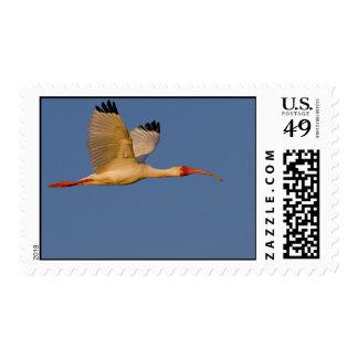 white ibis in flight postage