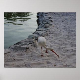 White Ibis On The Sand Poster