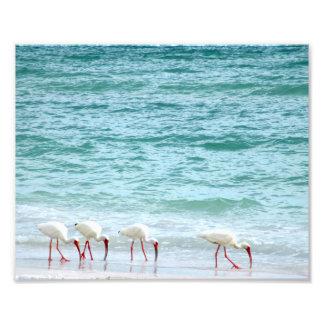 White Ibis Shorebirds Walking on the Beach Photo Print