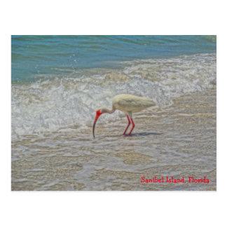 White Ibis Wading Bird in the Sanibel Island Surf Postcard