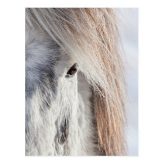 White Icelandic Horse face, Iceland Postcard