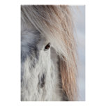 White Icelandic Horse face, Iceland Poster