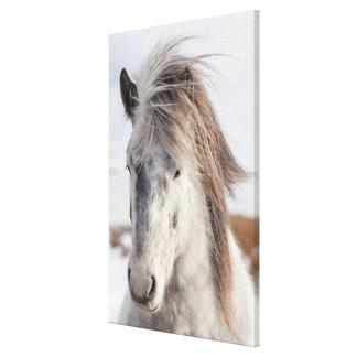 White Icelandic Horse Headshot Canvas Print