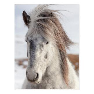 White Icelandic Horse Headshot Postcard
