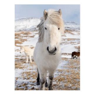White Icelandic Horse, Iceland Postcard