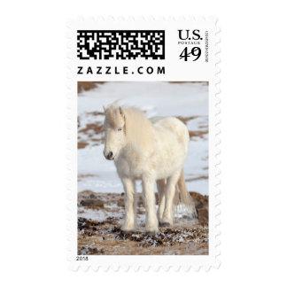 White Icelandic Horse Portrait Postage