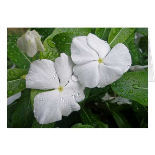 White Impatiens Flowers Greeting Card