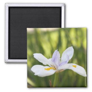 White Iris Magnet