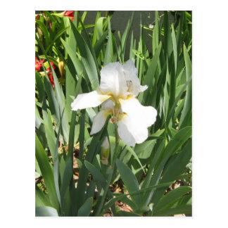 White Iris Postcards