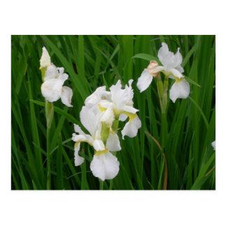 white iris postcard