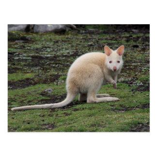 White Kangaroo Postcard