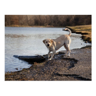 White Labrador near a lake Postcard