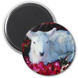 White Lamb in springtime, England flowers Fridge Magnets