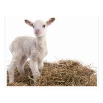 white lamb postcard