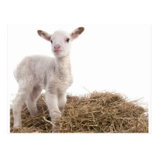 white lamb postcards