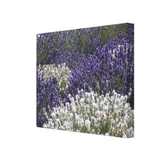 White Lavender with Purple Lavender Canvas Print