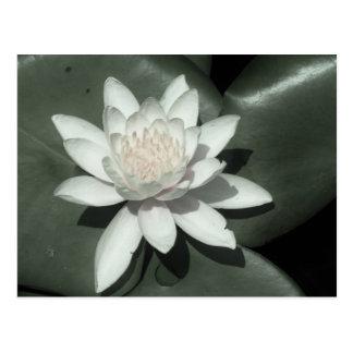 white light  pink lotus water lily flower postcard