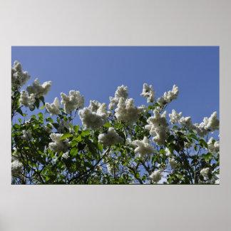 White lilac Gotland Sweden Poster