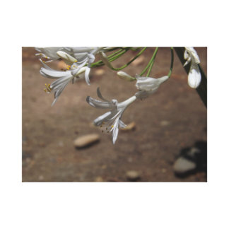 White Lilies of the Nile Canvas Print