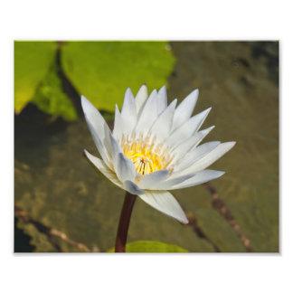 White Lilies Photo