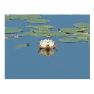 White Lilly Pad Postcard