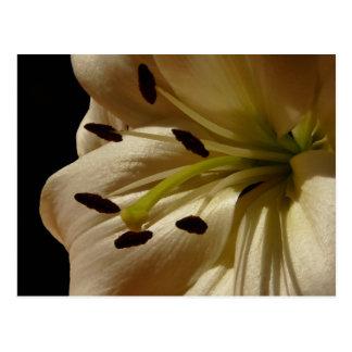White Lily Flower Petals Postcard