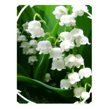 White Lily Of The Valley Postcard by PerennialGardens at Zazzle