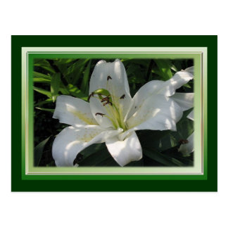 White Lily With Decorative Border Postcard