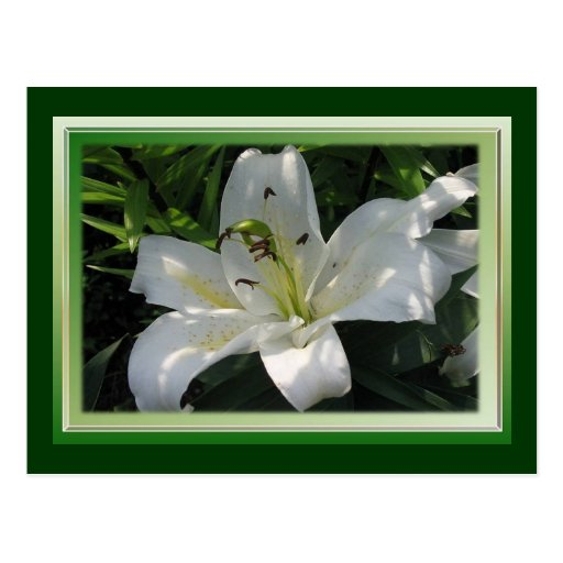 White Lily With Decorative Border Postcards