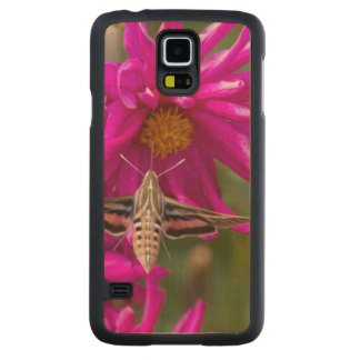 White-lined sphinx moth feeds on flower nectar 2 carved maple galaxy s5 slim case