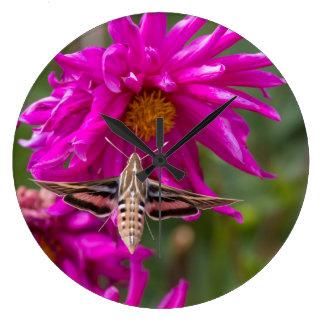 White-lined sphinx moth feeds on flower nectar 2 large clock