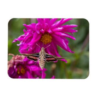 White-lined sphinx moth feeds on flower nectar 2 magnet