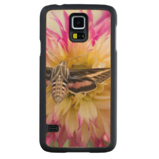 White-lined sphinx moth feeds on flower nectar carved maple galaxy s5 slim case