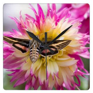 White-lined sphinx moth feeds on flower nectar clock