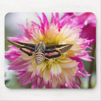 White-lined sphinx moth feeds on flower nectar mouse pad