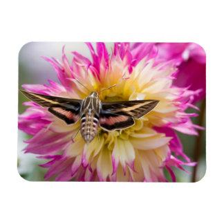 White-lined sphinx moth feeds on flower nectar rectangular photo magnet