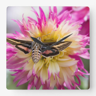 White-lined sphinx moth feeds on flower nectar square wall clock