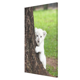 White lion cub hiding behind a tree. canvas print