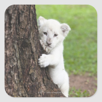 White lion cub hiding behind a tree. square sticker